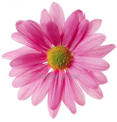 pink-daisy-pictures-2 